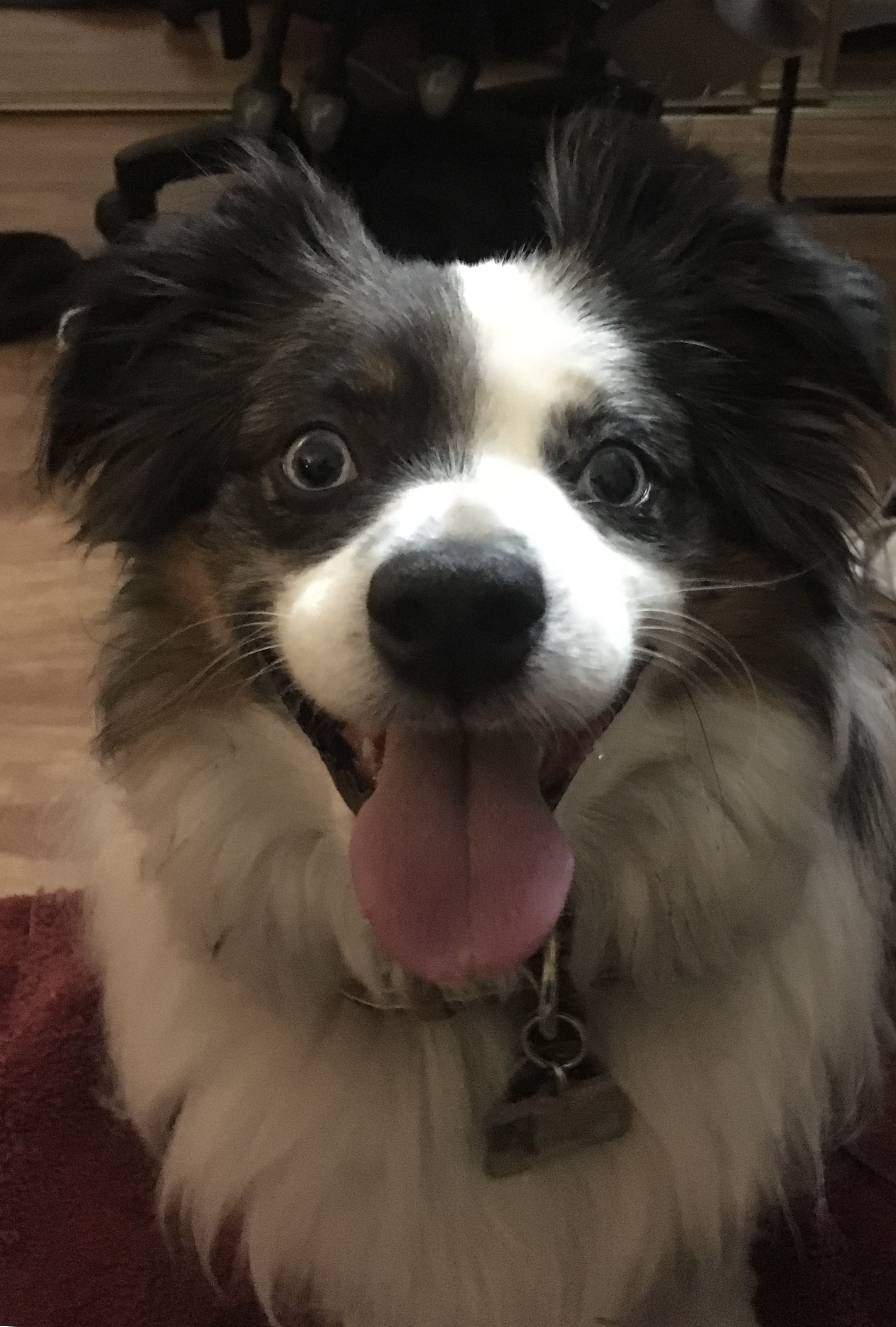tri color dog smiling